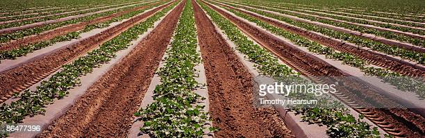 oblique rows of young cantaloupe plants - timothy hearsum stock pictures, royalty-free photos & images