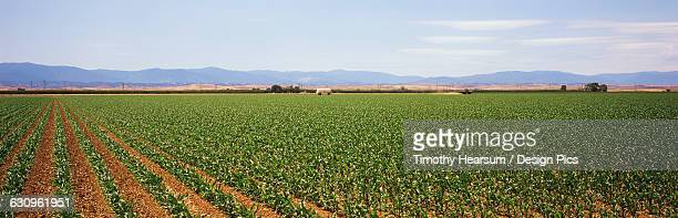 oblique rows of young corn are seen in early spring with mountains and blue sky in the background, imperial valley - timothy hearsum stock-fotos und bilder