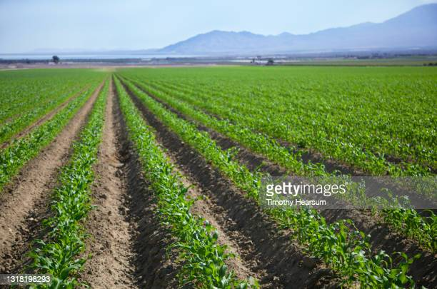 oblique rows of young corn plants; mountains and sky beyond - timothy hearsum stock pictures, royalty-free photos & images