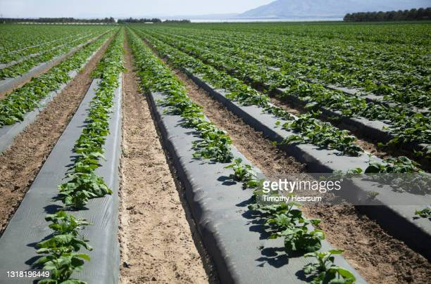 oblique rows of young melon plants growing on raised mounds with black plastic - timothy hearsum stock pictures, royalty-free photos & images