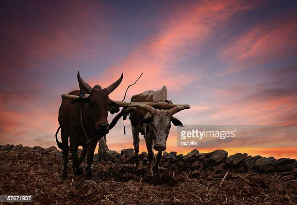 obsolete plow with two cows - wild cattle stock photos and pictures