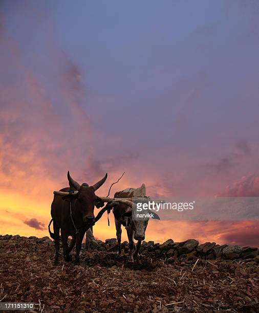 Obsolete Plow with Two Cows