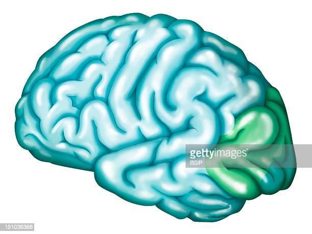 Occipital Lobe Visual Cortex The Occipital Lobe Corresponds To The Visual Cortex Primary Visual Area Or Striate Area In Dark Green Association Visual...