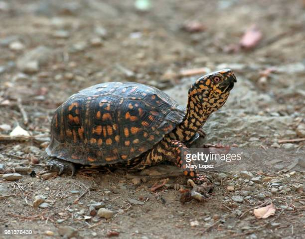 occoquan regional park box turtle - box turtle stock pictures, royalty-free photos & images
