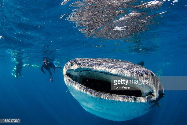 ocean - whale shark stock pictures, royalty-free photos & images