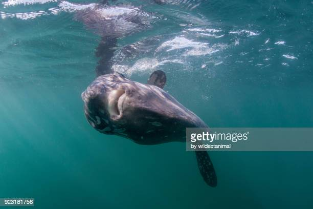 ocean sunfish feeding at the surface, offshore from langebaan, south africa. - freshwater sunfish stock photos and pictures