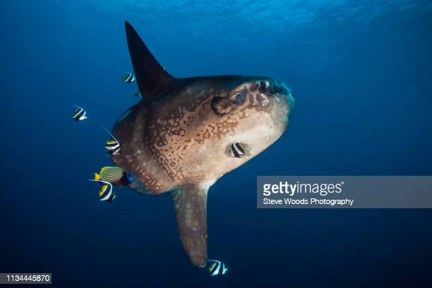 ocean sunfish (mola ramseyi) is cleaned by reef fish in deep water, bali, indonesia - sunfish stock pictures, royalty-free photos & images