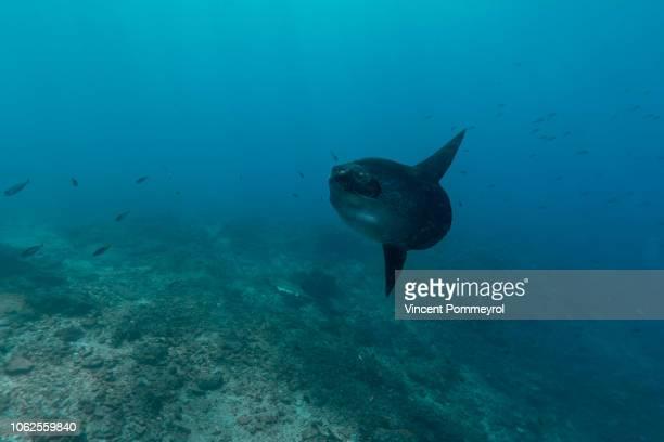 ocean sunfish (mola mola) - mola fotografías e imágenes de stock