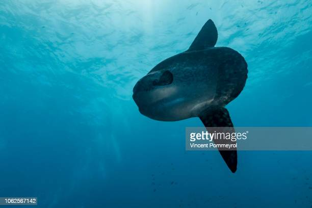 ocean sunfish (mola mola) - nusa penida stock pictures, royalty-free photos & images