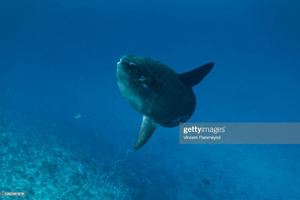 Ocean sunfish (Mola mola) : Stock Photo