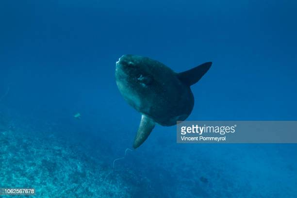 ocean sunfish (mola mola) - sunfish stock pictures, royalty-free photos & images