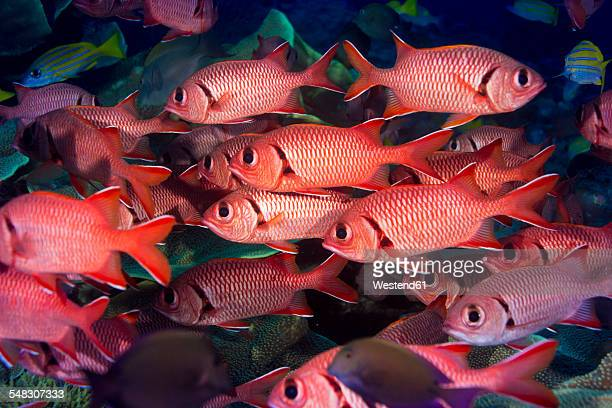 oceania, micronesia, palau, pinecone soldierfishes, myripristis murdjan - squirrel fish stock photos and pictures