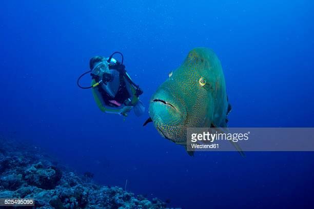 oceania, palau, napoleon fish, cheilinus undulatus and diver - メガネモチノウオ ストックフォトと画像