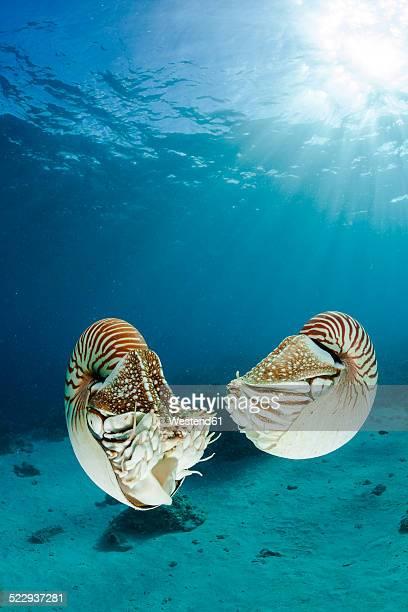 Oceania, Palau, Palau nautilusses, Nautilus belauensis, in Pacific Ocean