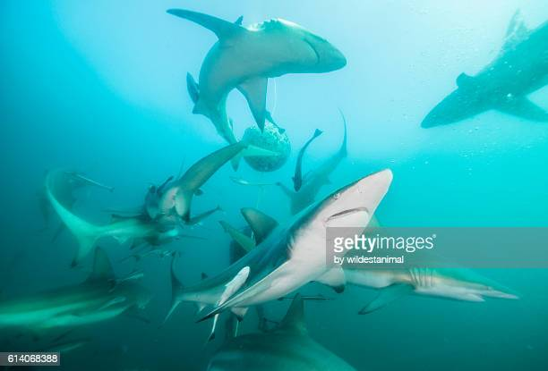 oceanic black tip sharks - kwazulu natal sharks stock pictures, royalty-free photos & images