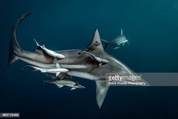 Oceanic Blacktip Shark (Carcharhinus Limbatus) circling prey, Aliwal Shoal, South Africa