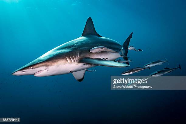 Oceanic Blacktip Shark (Carcharhinus Limbatus) swimming near surface of ocean, Aliwal Shoal, South Africa