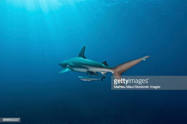 Oceanic blacktip shark with remora in the waters of Aliwal Shoal, South Africa.