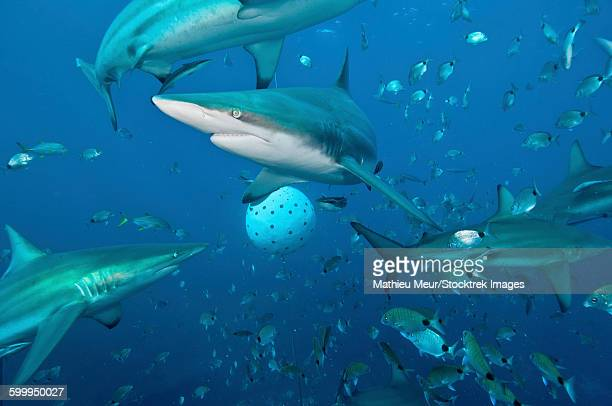 oceanic blacktip sharks fighting for food near a bait ball filled with sardines - frenesí depredador fotografías e imágenes de stock