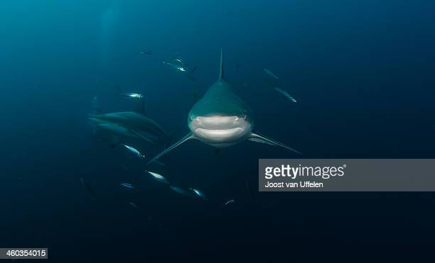 oceanic black-tip sharks, south africa - kwazulu natal sharks stock pictures, royalty-free photos & images