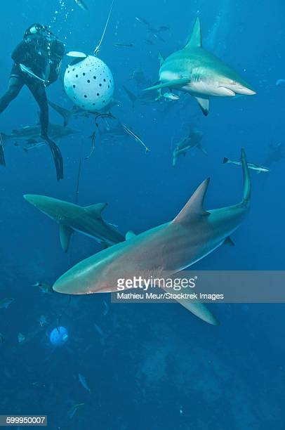 oceanic blacktip sharks waiting for food from a diver near a bait ball. - frenesí depredador fotografías e imágenes de stock