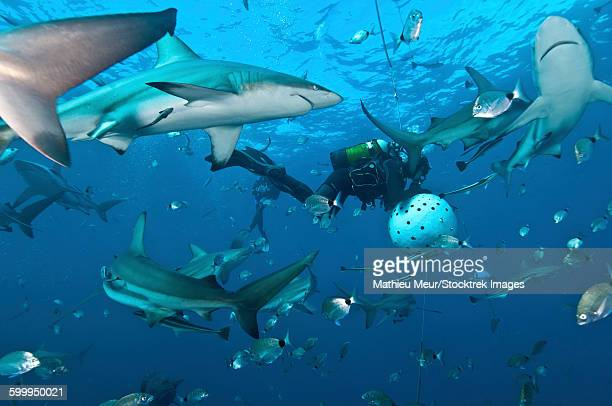 oceanic blacktip sharks waiting for food from a diver near a bait ball. - kwazulu natal sharks stock photos and pictures