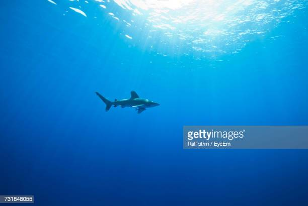 Oceanic White Tip Shark Swimming In Sea