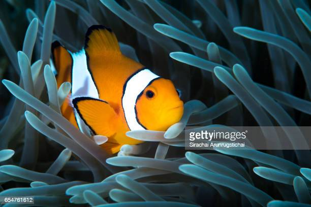 Ocellaris clownfish among the tentacles of a Magnificent Anemone