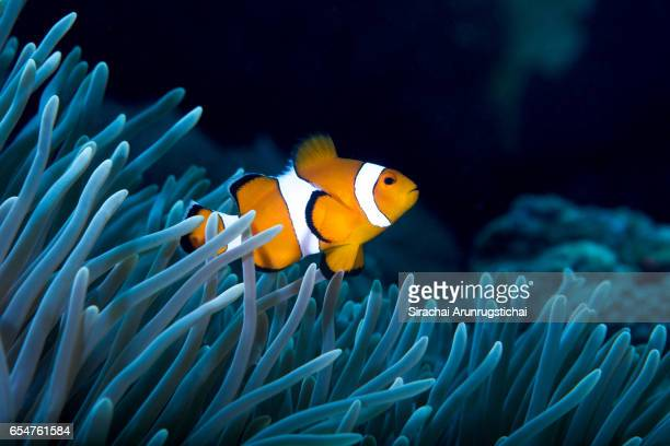 Ocellaris clownfish on Sea Anemone