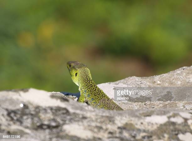 Ocellated lizard. Lacerta lepida