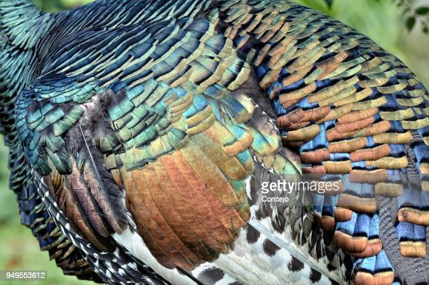 Ocellated turkey (meleagris ocellata), colored feathers, Orange Walk District, Belize