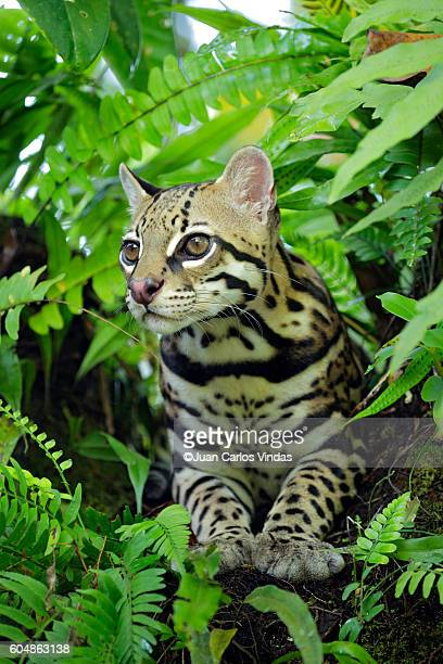 Ocellot (Leopardus pardalis) resting on tree branch