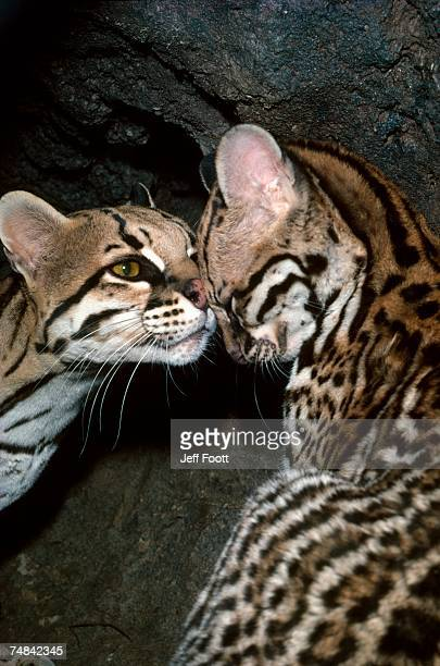 30 Top Ocelot Fur Pictures, Photos and Images - Getty Images