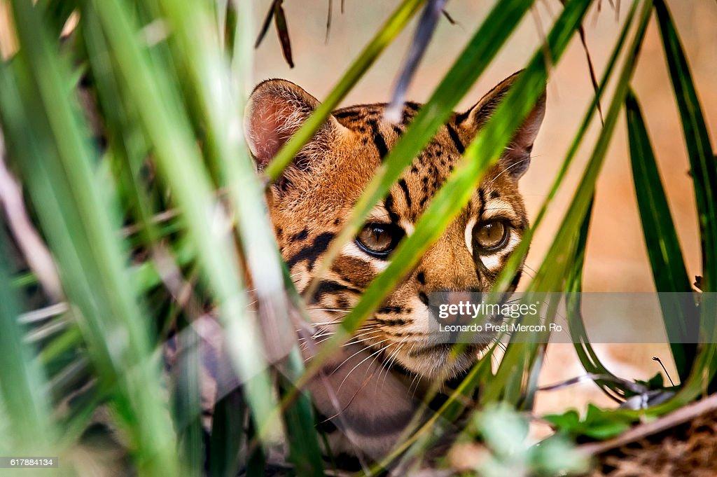 Ocelot (Leopardus pardalis) : Stock Photo