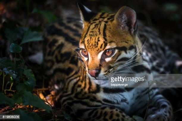 ocelot - striato stock pictures, royalty-free photos & images