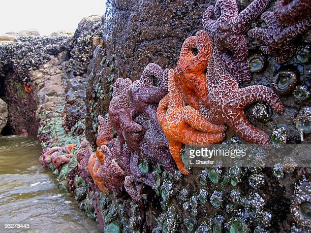 Ochre Sea Star (Pisaster ochranceus
