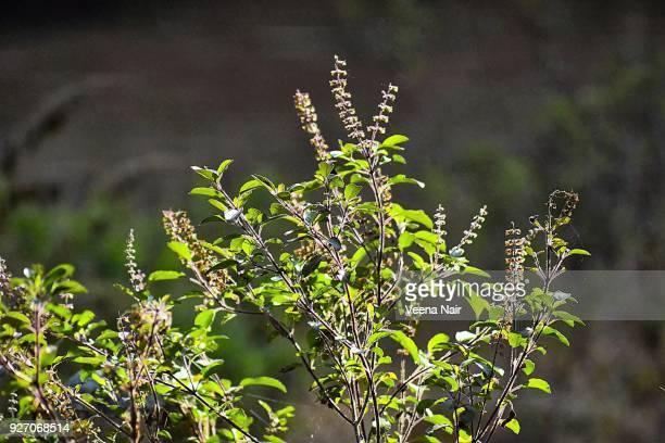 Ocimum tenuiflorum/Holy Basil/Tulsi