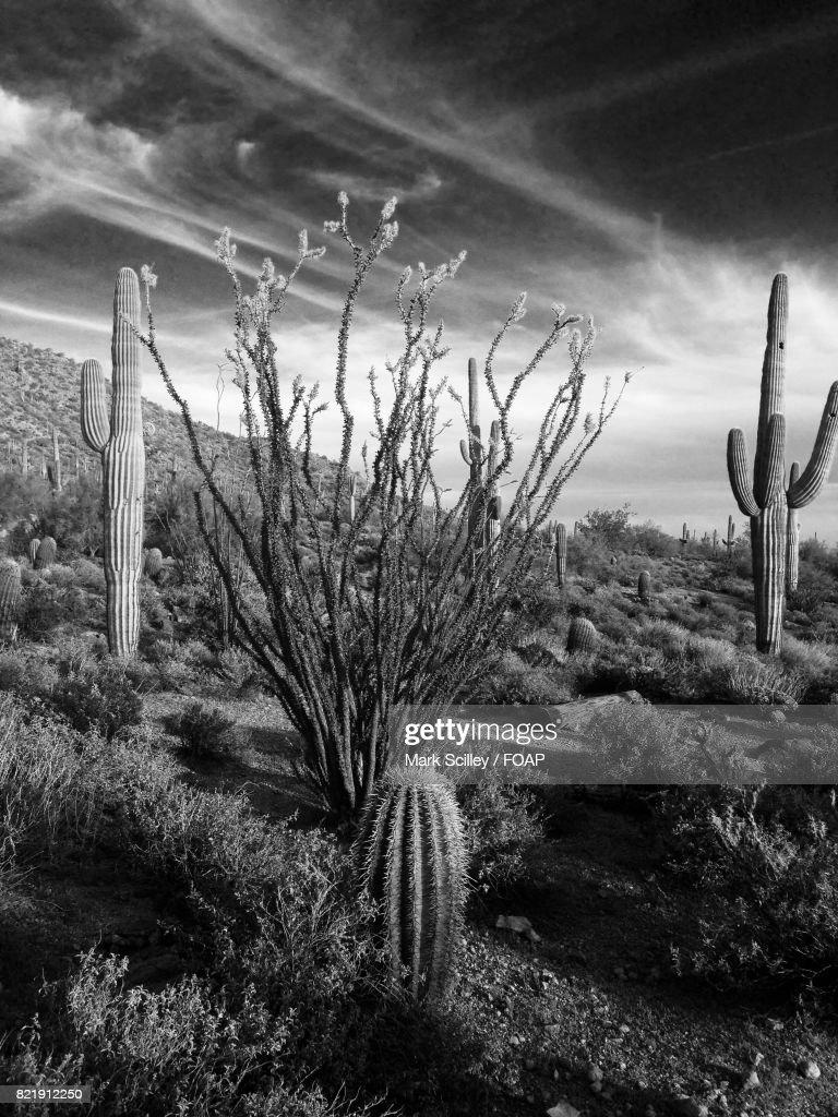 Ocotillo cactus in sonoran desert : Stock Photo