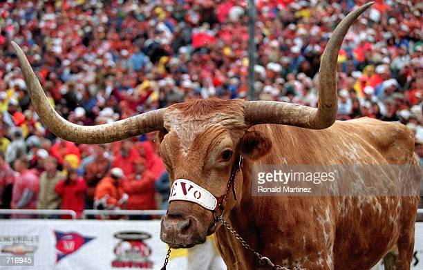 University of Texas Longhorns mascot Bevo attends the game between the Texas Longhorns and Oklahoma Sooners at the Cotton Bowl in Dallas Texas The...