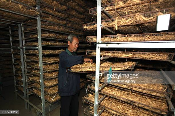 Farmer Cong Peiqi checks the drying of American ginseng in Wendeng District of Weihai City east China's Shandong Province Oct 23 2016 American...