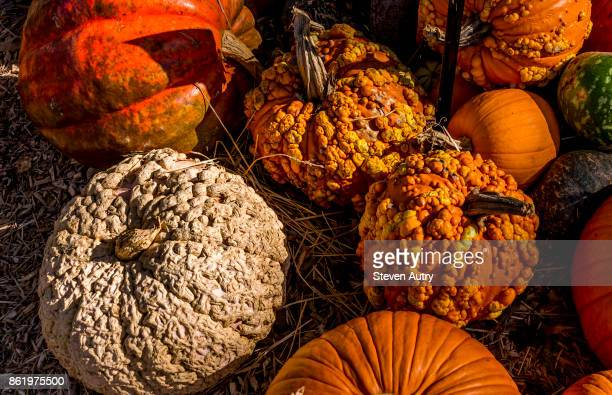 """october 11, 2017, dallas, texas, usa:  pumpkins on display at a city halloween display in dallas, texas.  a variety of pumpkins, """"peanut,"""" """"knucklehead,"""" """"big mac,"""" and several other types are displayed here. - big mac stock pictures, royalty-free photos & images"""