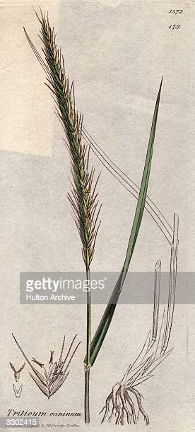 Triticum caninum a species of grass