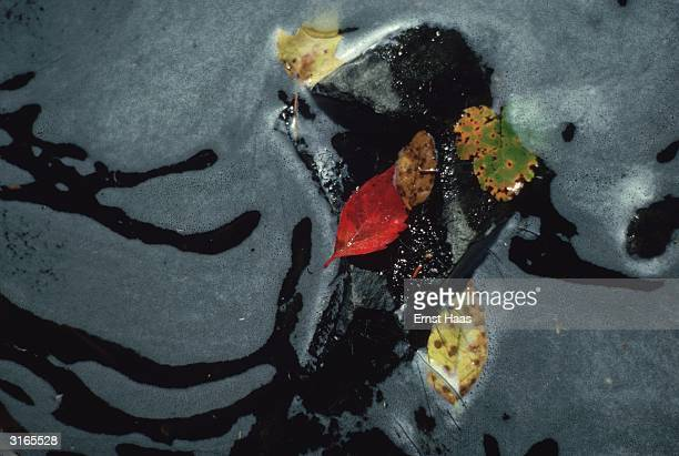 Red green and yellow leaves floating on a foamy water surface in Maine