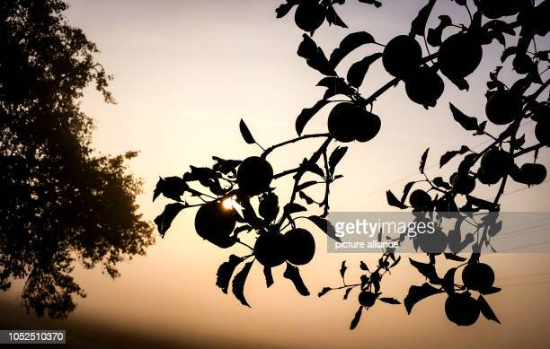 19 October 2018 BadenWuerttemberg Fellbach The sun slowly fights its way through the morning fog on a field with apple trees Photo Christoph...