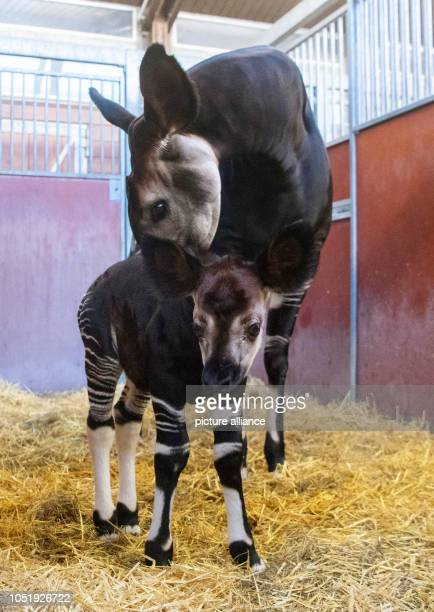 Okapi Stock Photos And Pictures Getty Images