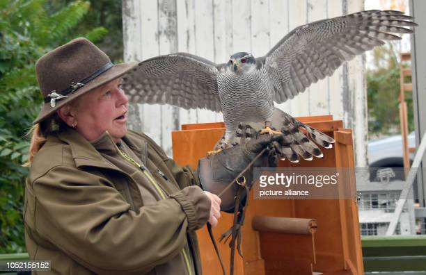 Andrea Badouin takes her Falkendame Torah in the park at Charlottenburg Palace on her fist Two to three times a week the falconer goes hunting in the...