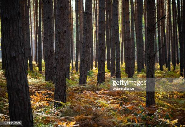 Autumncolored fern leaves shine in the backlight of the morning sun in a pine forest Photo Patrick Pleul/dpaZentralbild/ZB