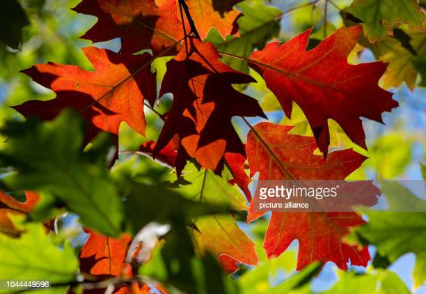 Green and already red coloured leaves of a red oak Photo Patrick Pleul/dpaZentralbild/dpa