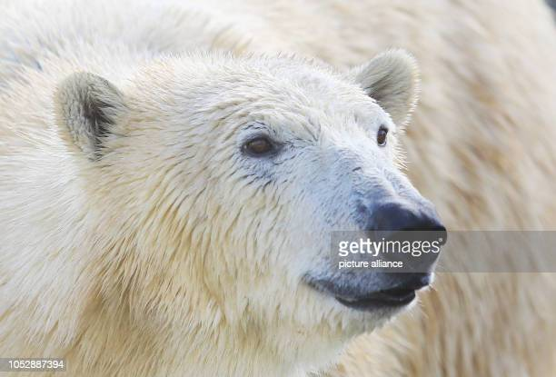 23 October 2018 MecklenburgWestern Pomerania Rostock In the polarium of the Rostock Zoo the almost fouryearold polar bear Sizzel stands in her new...