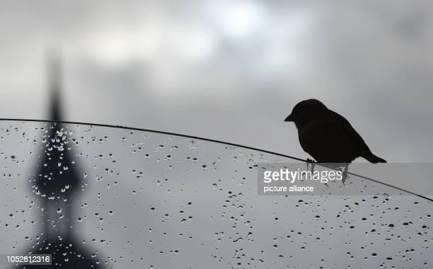 October 2018, Mecklenburg-Western Pomerania, Zinnowitz: A sparrow sits on a car window wet with rain. Photo: Stefan Sauer/dpa-Zentralbild/dpa